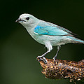 Blue-gray Tanager Thraupis Episcopus by Panoramic Images