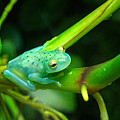 Blue-green Tropical Frog by Douglas Barnett