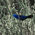 Blue Grosbeak At Rest by Rrrose Pix