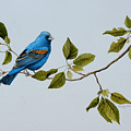 Blue Grosbeak by Charles Owens