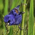 Blue Grosbeak On A Reed by Nick Zelinsky