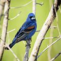 Blue Grosbeak by Travis Boyd