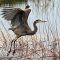 Blue Heron 1 by Peter Gray