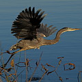 Blue Heron 2 by Peter Gray