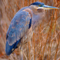 Blue Heron by Bill Cannon