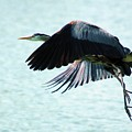 Blue Heron by Bob Guthridge