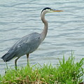Blue Heron By The Lake by Nick Gustafson