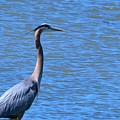 Blue Heron by Eileen Brymer