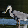 Blue Heron - Fish By The Tail by Sue Harper
