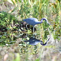 Blue Heron Fishing In A Pond In Bright Daylight by Artful Imagery