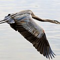 Blue Heron Flyby by William Bosley