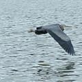 Blue Heron In Flight by Nick Gustafson