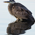 Blue Heron In Reflection, St. Marks Wildlife Refuge, Florida by Dawna Moore Photography