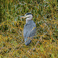 Blue Heron In The Autumn Colours by Stephen Jenkins