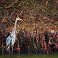 Blue Heron In The Cypress Knees by Susan Rissi Tregoning