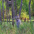 Blue Heron-in The Swamp by Robert Pearson
