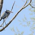 Blue Heron In Tree by Joni Eskridge