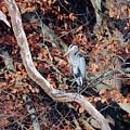 Blue Heron In Tree by Paul Ross
