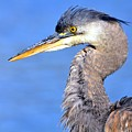 Blue Heron by Michele Broadfoot