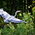 Blue Heron On The Move by Lawrence Golla