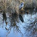 Blue Heron. by Robert Rodda