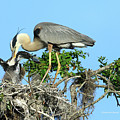 Blue Heron Series Feeding by Deborah Benoit