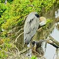Blue Heron Series Little One by Deborah Benoit