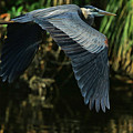 Blue Heron Series The Pond by Deborah Benoit