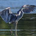 Blue Heron Show-off by Sue Harper
