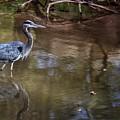 Blue Heron Stalking  by Buck Buchanan