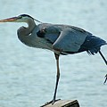 Blue Heron Stretching by Bob Guthridge