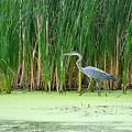 Blue Heron Taking A Walk by Valerie Lowing