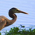 Blue Heron-the Profile by Robert Pearson