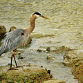 Blue Heron Waiting For The Next Meal by Ola Allen