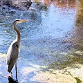 Blue Heron With Shadow by Kristin Elmquist
