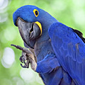 Blue Hyacinth Macaw by Leslie Banks