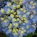 Blue Hydrangea Bouquet by Maxine Billings