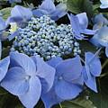 Blue Hydrangea Buds by Alexander Kuzimski