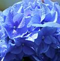 Blue Hydrangea by Eva Thomas