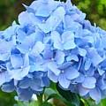 Blue Hydrangea Floral Art Print Hydrangeas Flowers Baslee Troutman by Baslee Troutman