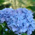 Blue Hydrangea Flower Art Prints Baslee Troutman by Baslee Troutman