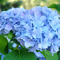 Blue Hydrangea Flowers Art Botanical Nature Garden Prints by Baslee Troutman