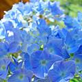 Blue Hydrangea Flowers Art Prints Summer Hydrangeas Baslee by Baslee Troutman