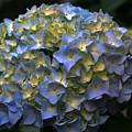Blue Hydrangea by Gayle Johnson