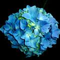 Blue Hydrangea by H Cooper