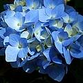 Blue Hydrangea II by Michiale Schneider