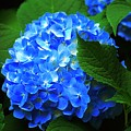 Blue Hydrangea by Joy Hiott