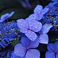 Blue Hydrangea by Noah Cole