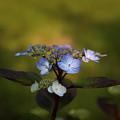 Blue Hydrangea by Roger Porter