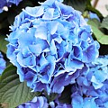 Blue Hydrangea by Tracy Smith